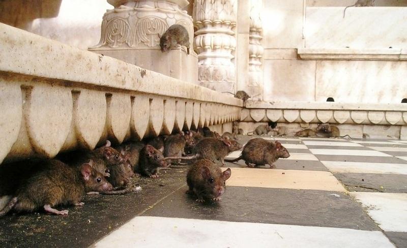 como-detectar-plagas-de-roedores