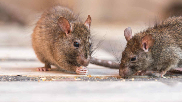 recomendaciones-para-prevenir-las-plagas-de-roedores