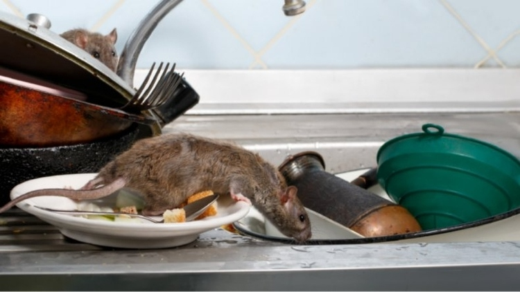 danos-que-causan-las-plagas-de-roedores