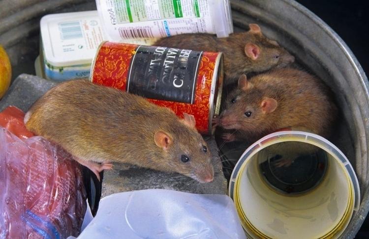 claves-para-eliminar-la-plaga-de-ratas-en-la-ciudad