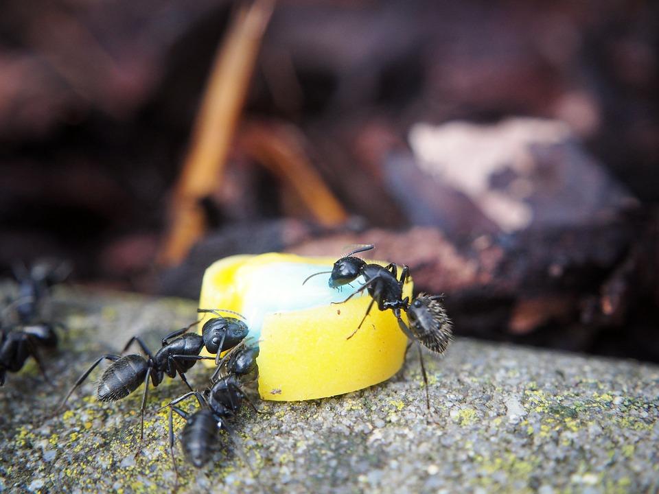 enfermedades-que-transmiten-las-hormigas