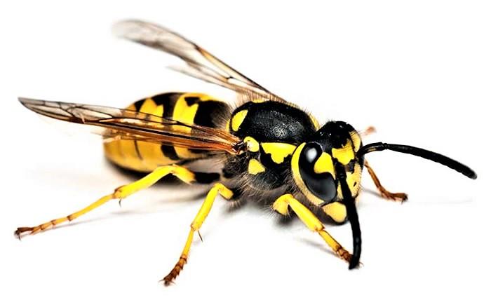 plagas de insectos de verano avispas