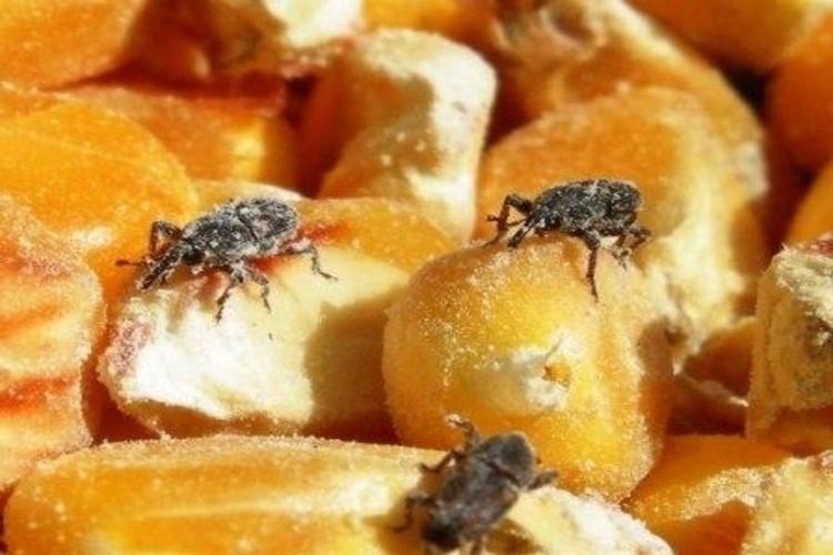 5-peores-plagas-de-granos-almacenados