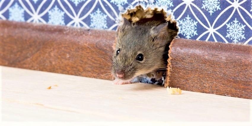 control-de-plagas-de-ratas