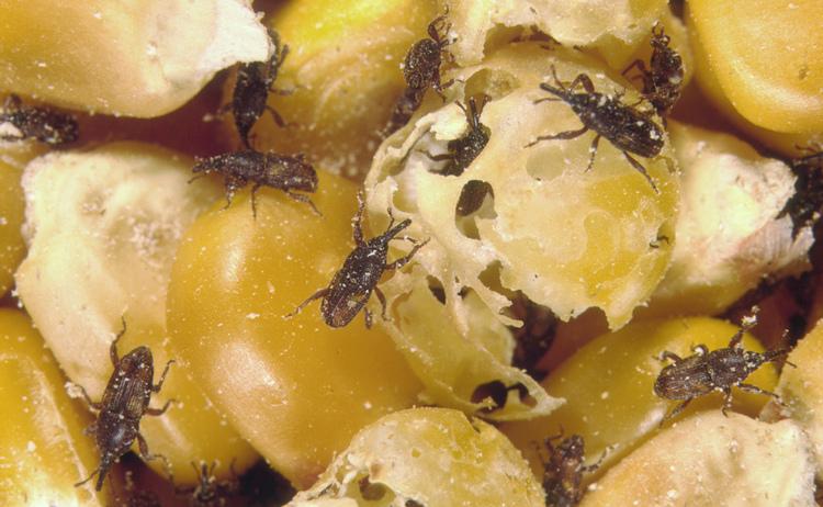 metodos-para-el-control-de-plagas-de-insectos-en-los-granos-almacenados