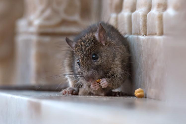 consejos-para-el-control-de-la-plaga-de-roedores