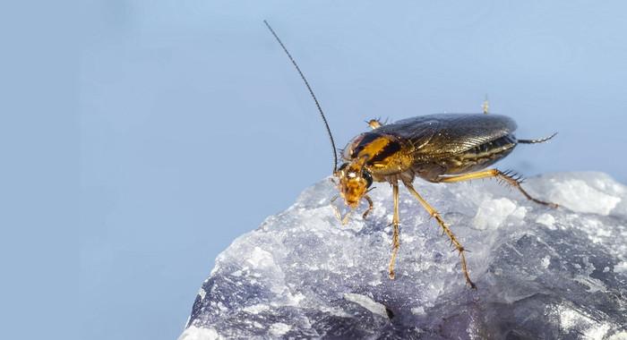 cucaracha-que-prefiere-el-invierno