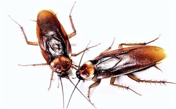 plagas de insectos de verano cucarachas
