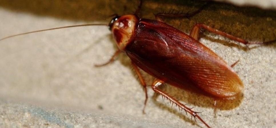 las-enfermedades-que-transmiten-las-cucarachas