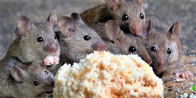fumigacion-de-ratas-en-lima
