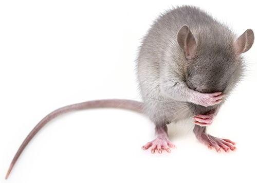 fumigacion de ratas en lima
