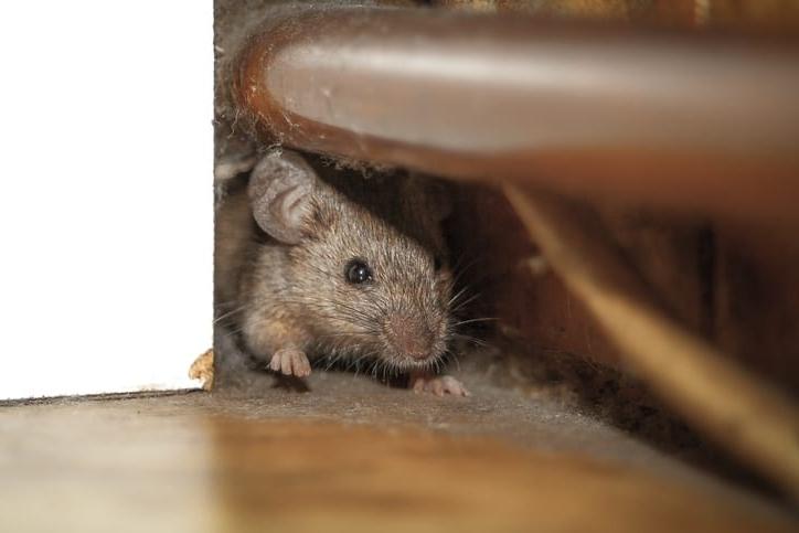 como-evitar-la-presencia-de-las-plagas-roedoras-en-casas-o-locales