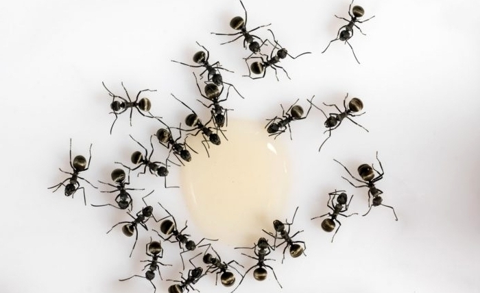 hormigas-servicio-de-fumigacion-en-lima