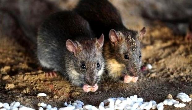 infestacion-de-roedores-servicio-de-desratizacion-en-lima