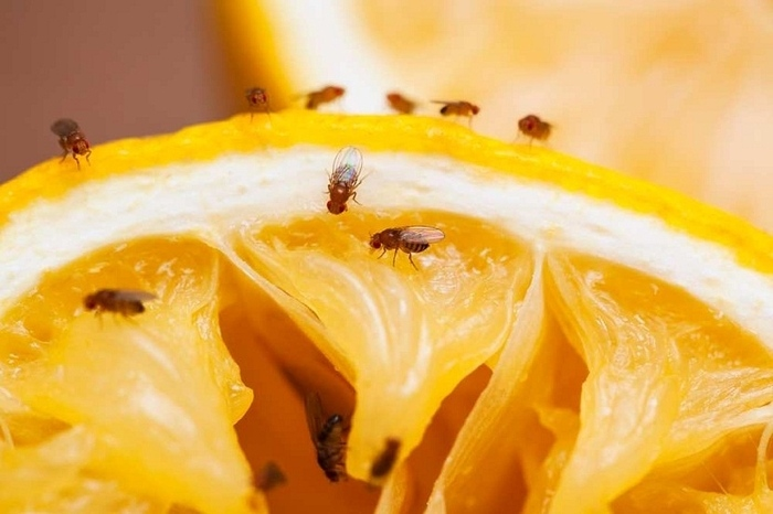 plaga-de-mosca-de-la-fruta