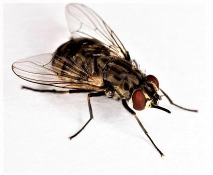 plagas de insectos de verano moscas