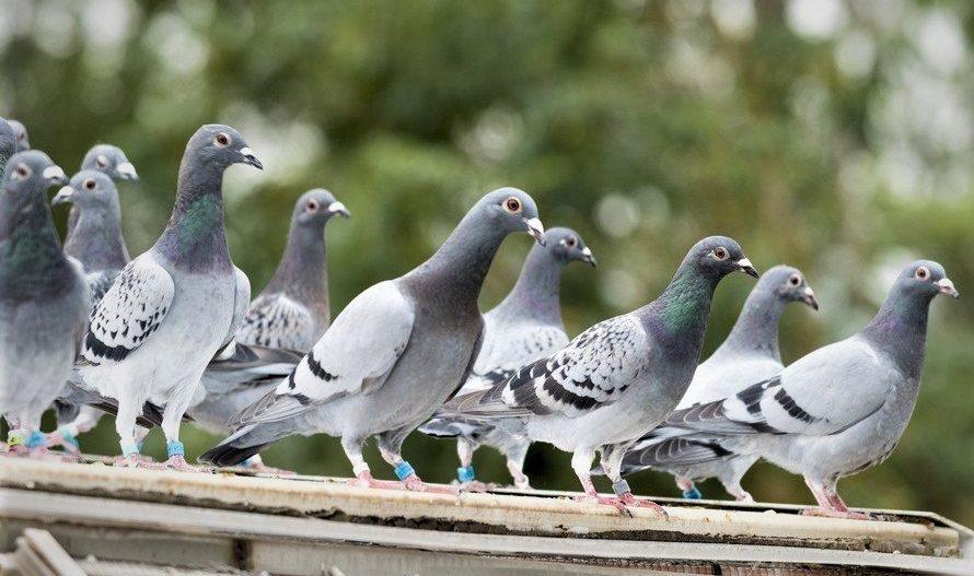palomas-daños