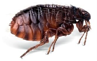 plagas de insectos de verano pulgas