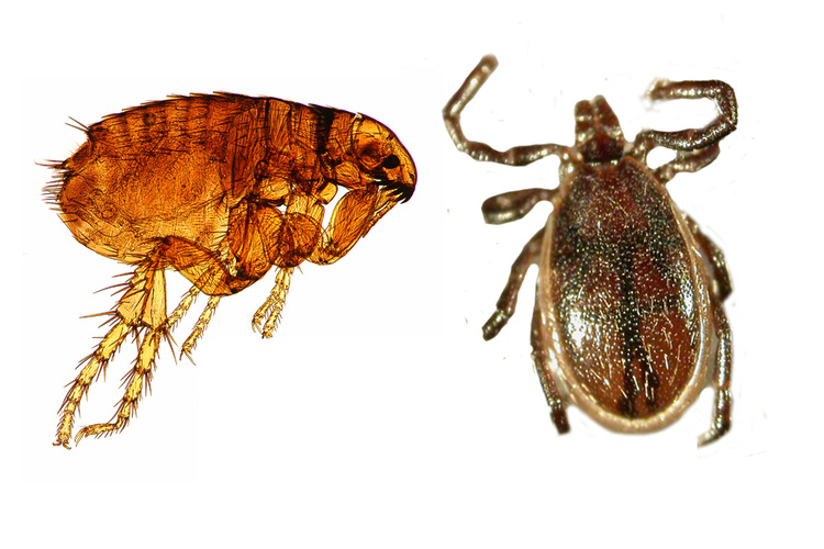 diferencias-entre-las-chiches-y-pulgas