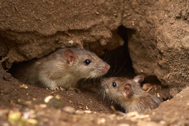 que-son-roedores-sinantropicos