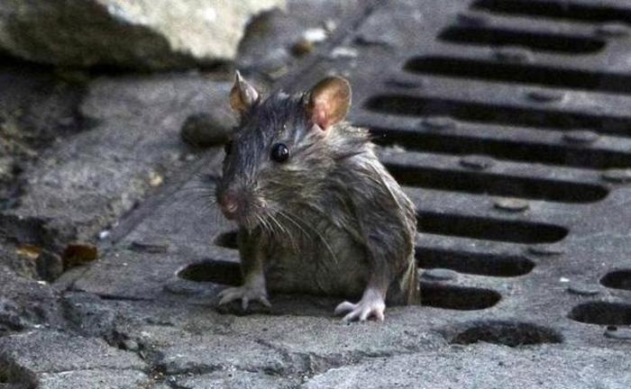 como-eliminar-y-evitar-las-plagas-de-roedores