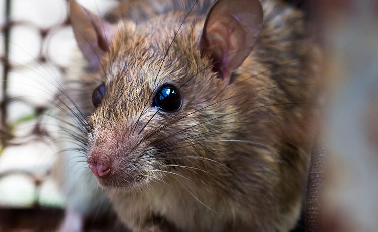 curiosidades-que-no-sabias-de-las-plagas-de-roedores