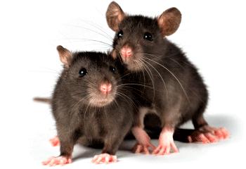 rata-de-alcantarilla