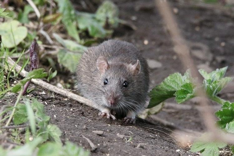 como-eliminar-una-plaga-de-roedores-en-invierno