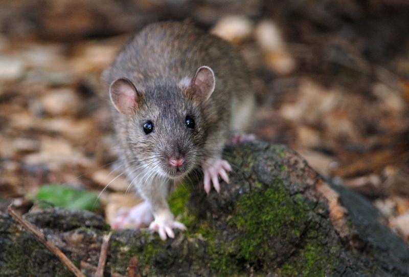 enfermedades-que-causan-las-plagas-de-roedores