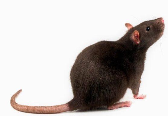 tipos-de-ratas-negra