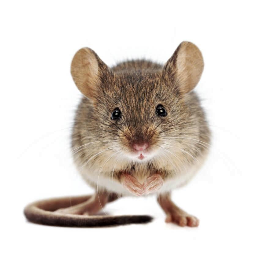 ratones-casero