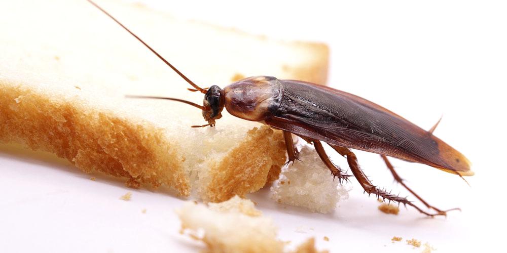 servicio-de-fumigacion-de-ambientes-cucarachas
