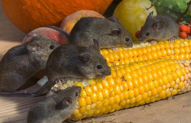 servicio-de-fumigacion-de-ratas-en-lima