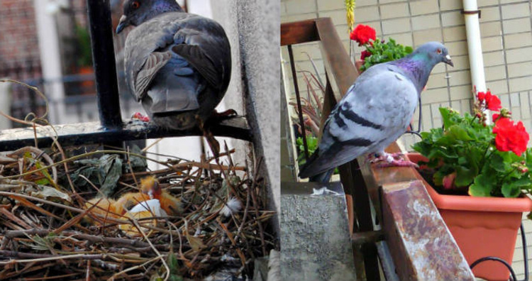consejos-para-eliminar-los-nidos-de-palomas-en-ventanas