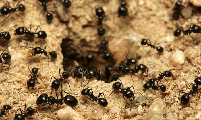 consejos-para-combatir-las-plagas-de-hormigas