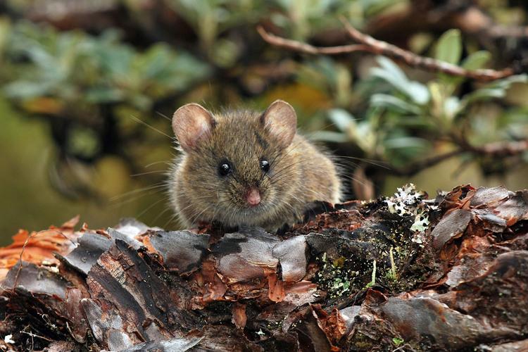 los-roedores-estan-mas-activos-en-otono